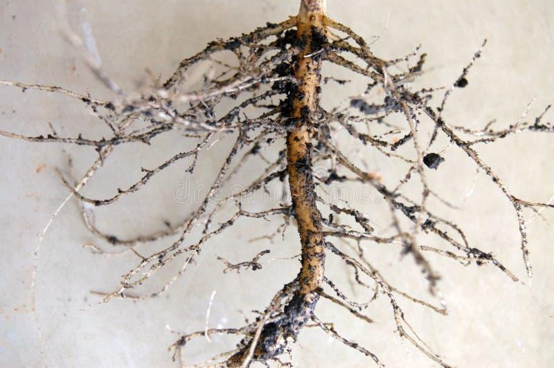Sunflowers& x27; Rotar trädet royaltyfria bilder