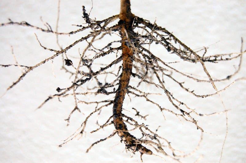 Sunflowers& x27; Rotar trädet arkivfoto