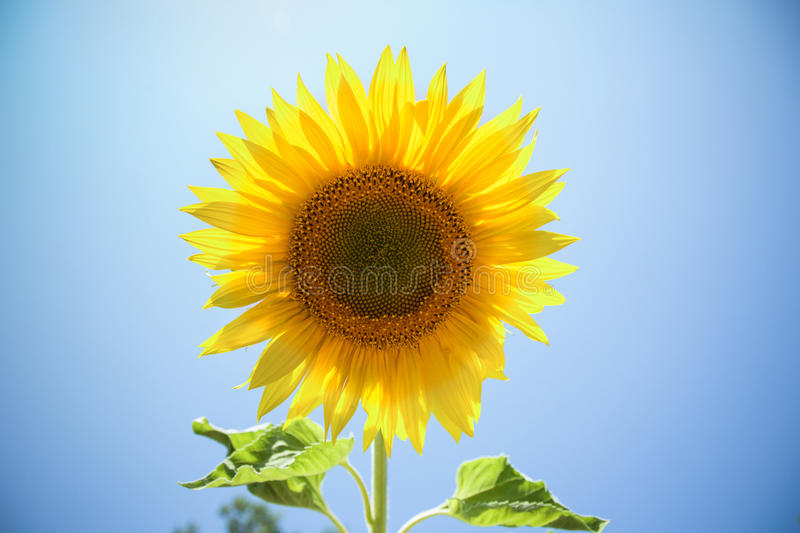 Sunflowers on the sky background royalty free stock images