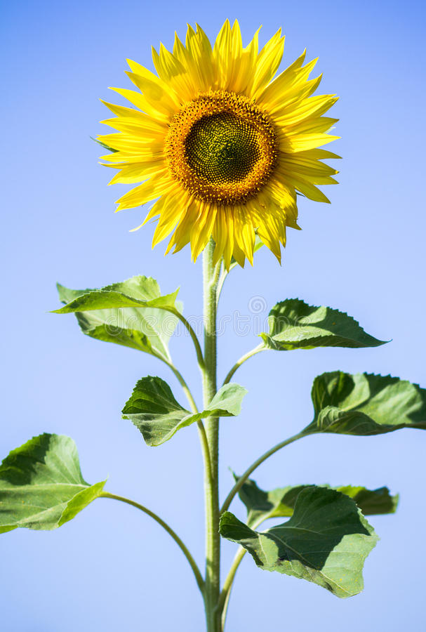 Sunflowers on the sky background. Sunflower close-up outdoors under the blue sky royalty free stock photos
