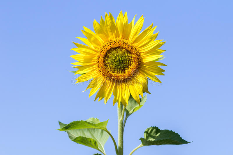 Sunflowers on the sky background royalty free stock photography