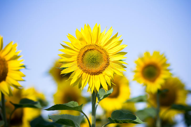 Sunflowers on the sky background. Sunflower close-up outdoors under the blue sky royalty free stock photo