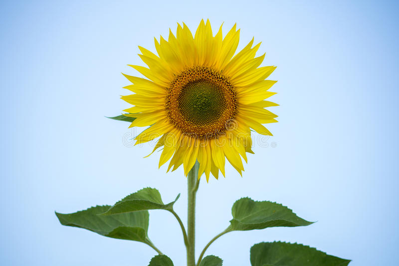Sunflowers on the sky background stock photo