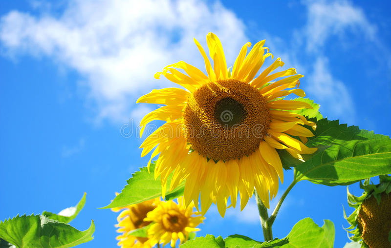 Sunflowers in the sky royalty free stock photos