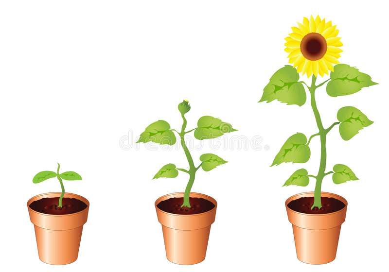 Sunflowers - stages of growth stock illustration