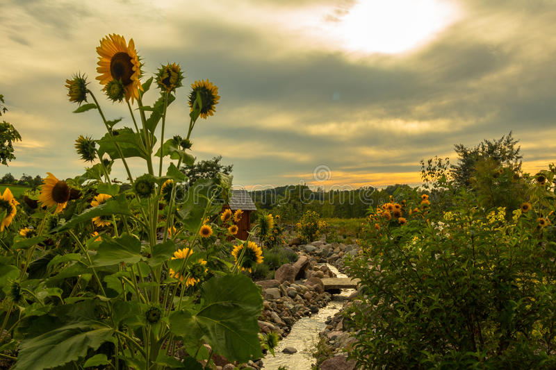 Sunflowers and Streams stock photos