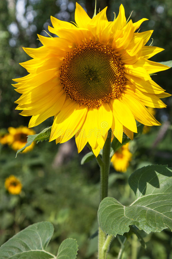 Download Sunflowers stock image. Image of image, landscape, clear - 32604095