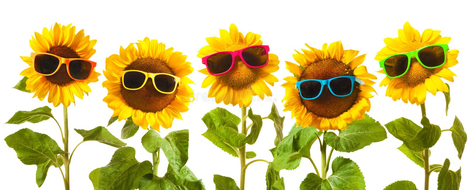 Sunflowers with sunglasses stock photo