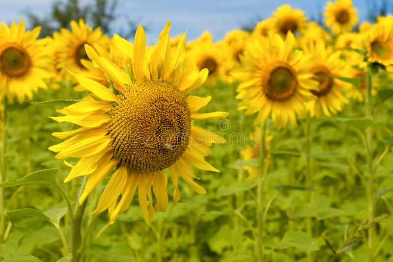 Sunflowers on a sunny day royalty free stock photos