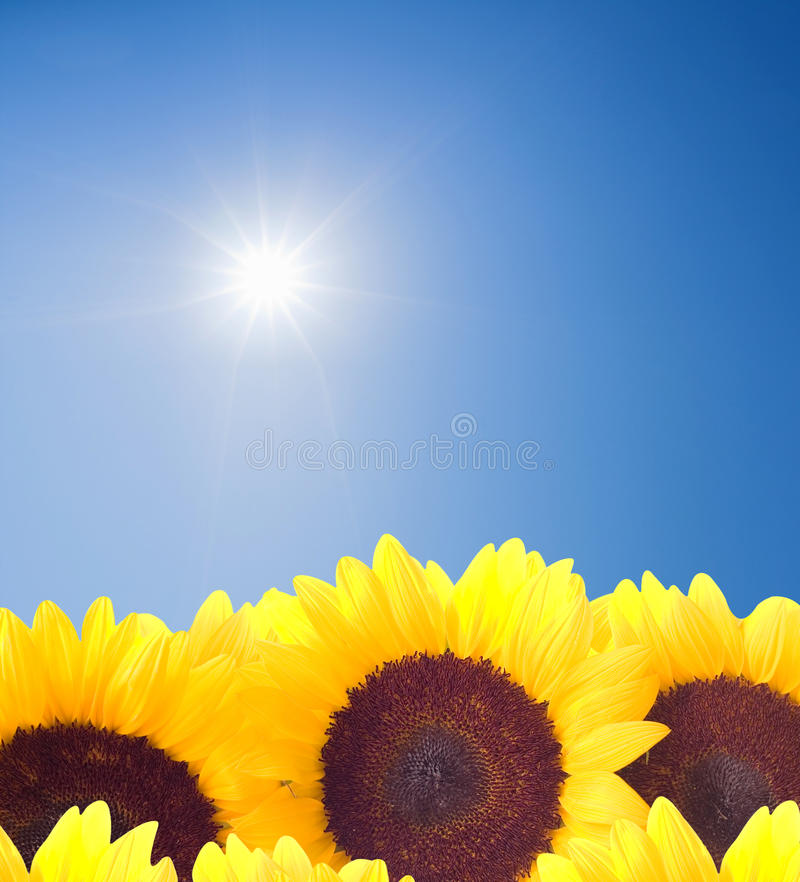 Sunflowers and sunny sky royalty free stock photo