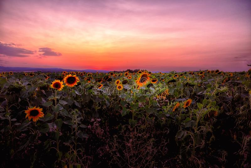 Sunflowers at sunset stock photography