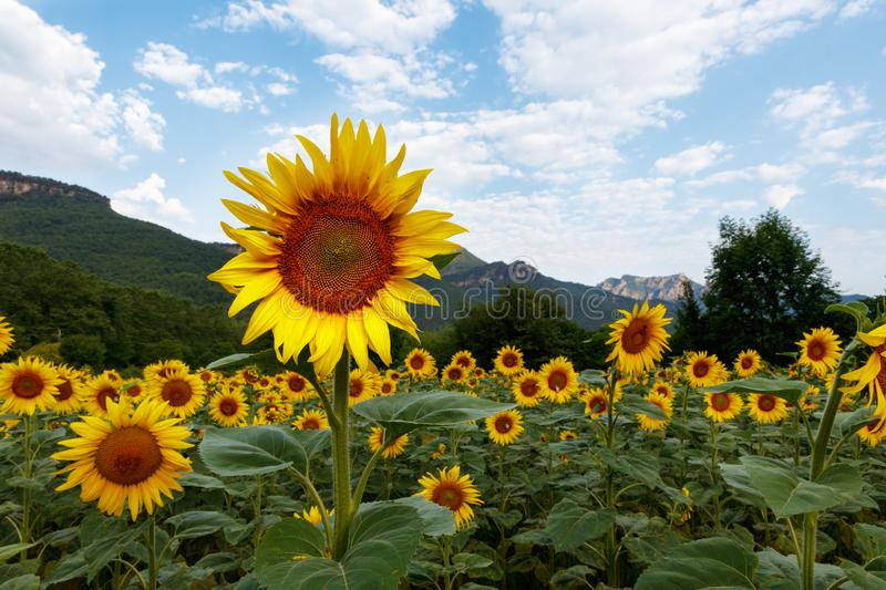 Sunflowers time stock images