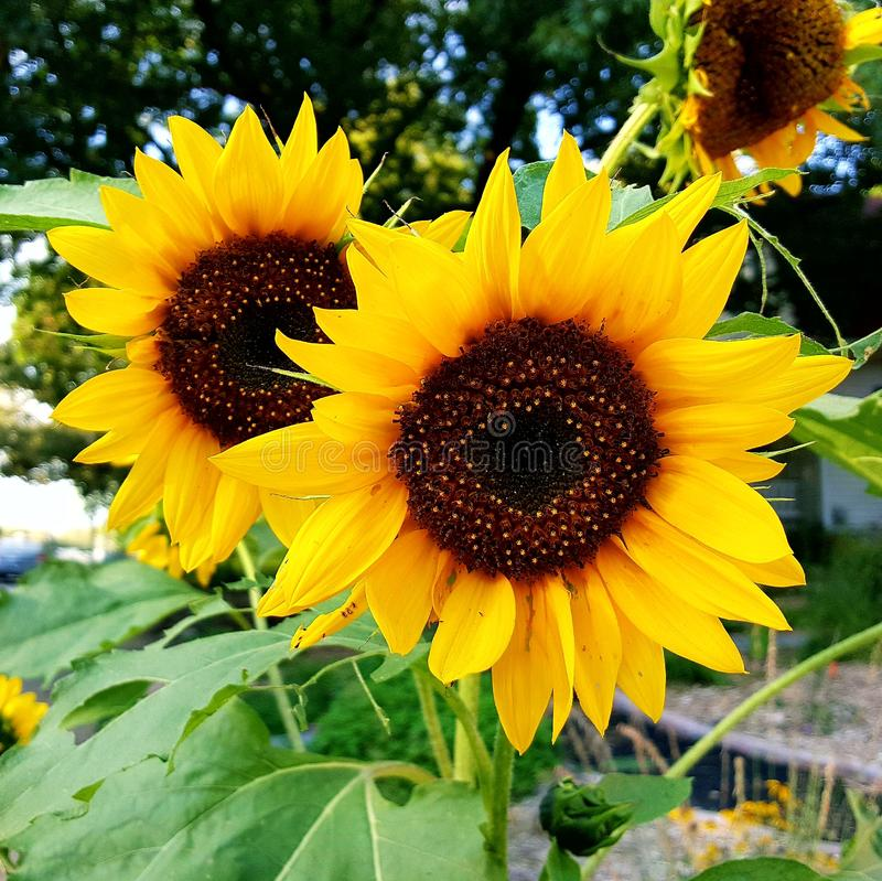 Sunflowers in Urban garden royalty free stock images