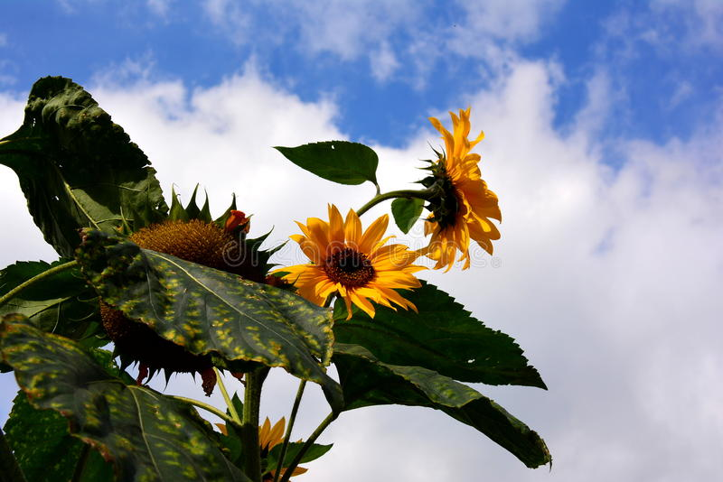 Sunfolwer. Beautiful sunflowers against the sky, blue sky, white clouds, colorful, summer, warm wonderful weather for rest and trips, relaxing on the garden stock photography