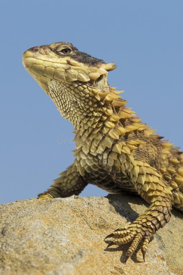 Sungazer蜥蜴, (感觉棍giganteus),南非 免版税库存图片