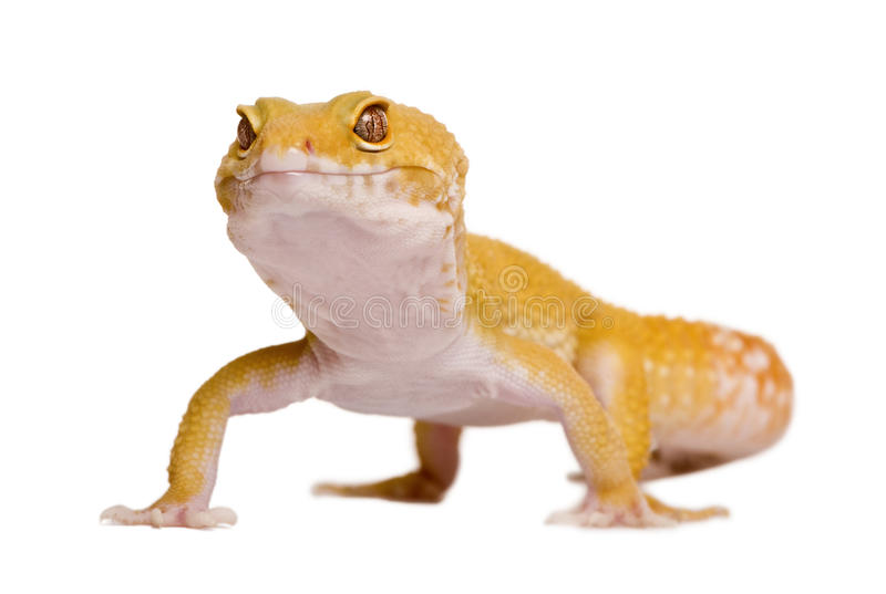 Sunglow Leopard gecko royalty free stock photography