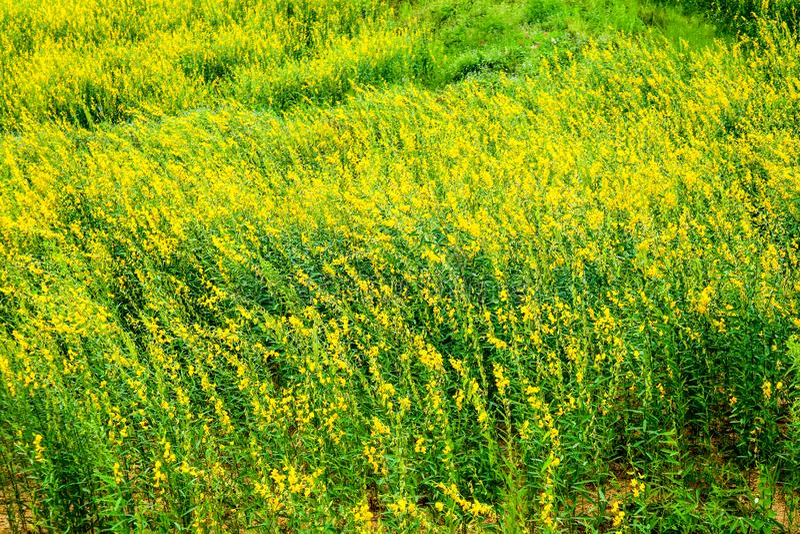 sunhemp in de vallei, mooie gele bloem op gebied stock fotografie