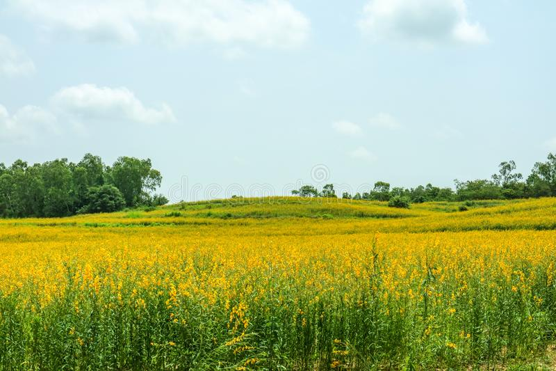 sunhemp in de vallei, mooie gele bloem op gebied en clou royalty-vrije stock fotografie