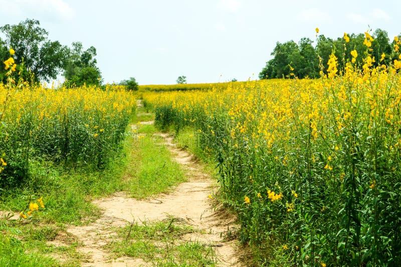 sunhemp in de vallei, mooie gele bloem op gebied en gree royalty-vrije stock fotografie