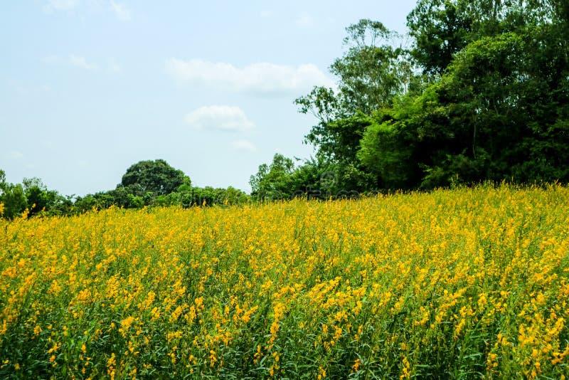 sunhemp in de vallei, mooie gele bloem op gebied en gree stock foto