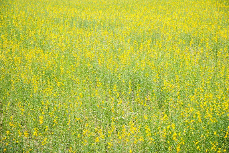 Sunhemp field royalty free stock photo
