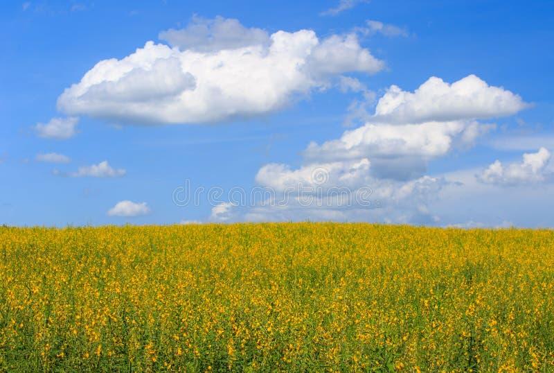 Sunhemp geel bloemgebied, wolkenachtergrond en blauwe hemel royalty-vrije stock fotografie