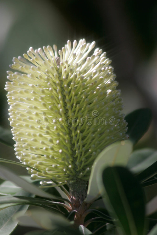 Sunkissed bottlebrush royalty free stock image