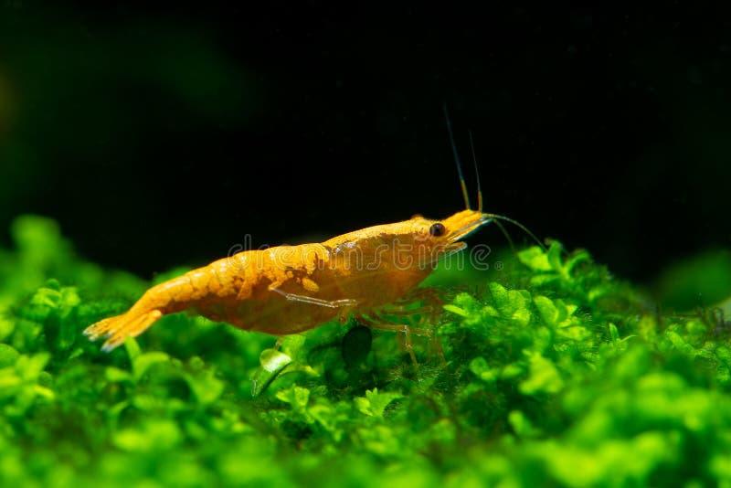 Sunkist orange gul dvärg- räka på grönt gräs eller vatten- mossa royaltyfri fotografi