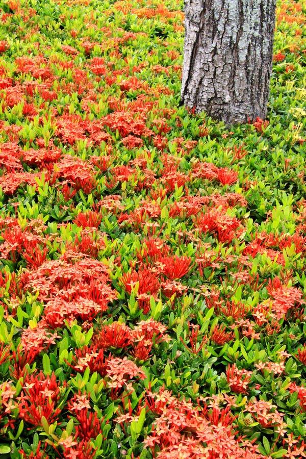 sunkist shrub ixora стоковое изображение