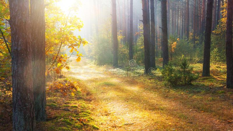 Sunlight in autumn forest. Scenic autumn nature landscape. Fall. Pine trees in sunny forest stock photography