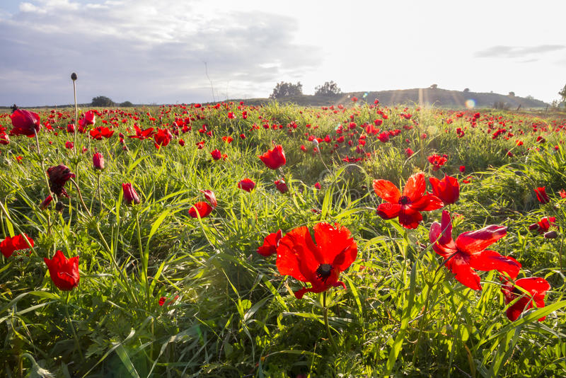 Download Sunlight On Blooming Red Anemone Coronaria Field Stock Photo - Image: 83705243