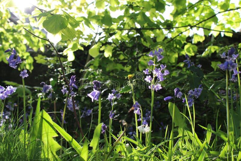 Sunlight Bluebell stock images