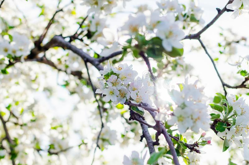 Sunlight breaks through the blossoming apple tree branches in spring royalty free stock photo