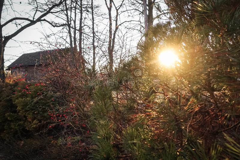 Sunlight through conifers. In the fall, my family garden, red ornamental berries in the bush stock images