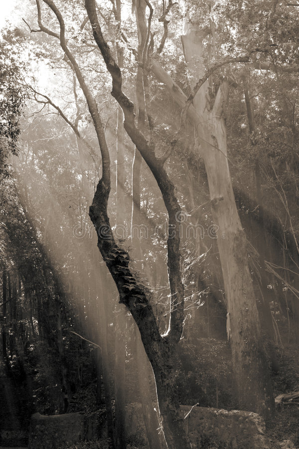 Sunlight entering the forest with sepia toning stock photo