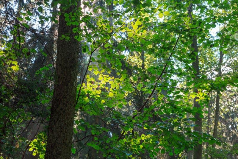 Sunlight filter through hazelwood leaves royalty free stock photo