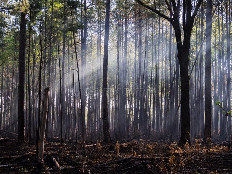 Sunlight Filtering Through Fog and Smoke in Burnt Forest stock photos