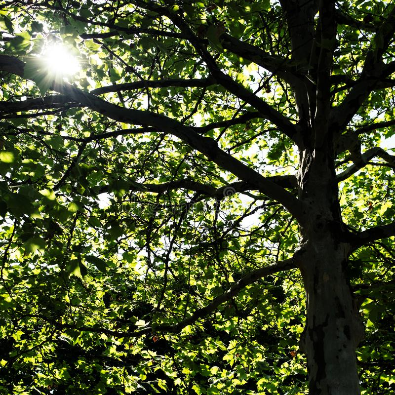 Sunlight shining through the thick leaves of a beautiful tree stock photography