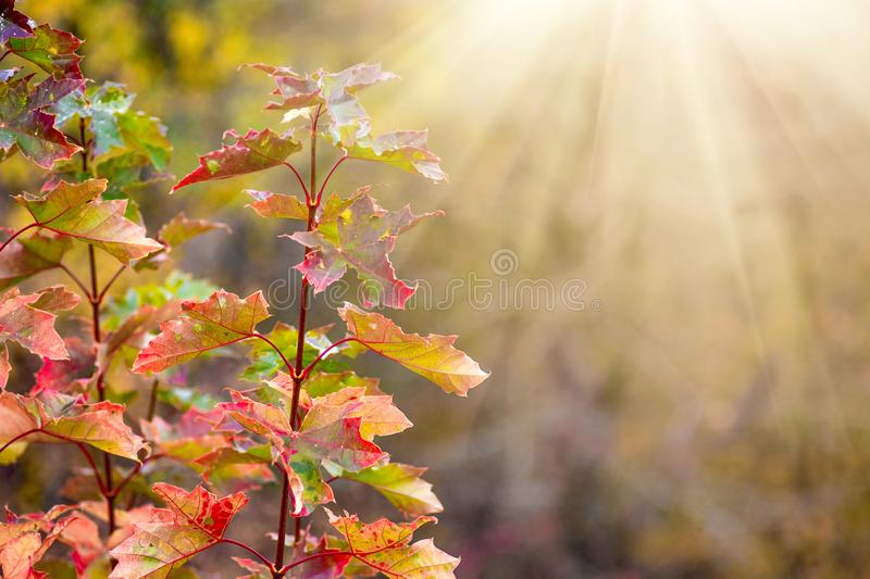 Sunlight illuminates the branch with multicolored autumn leaves of red oak in the woods_ stock images