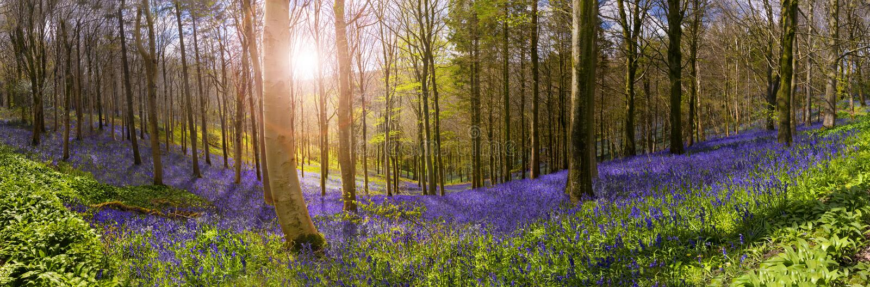 Sunlight illuminates peaceful bluebell woods royalty free stock photos