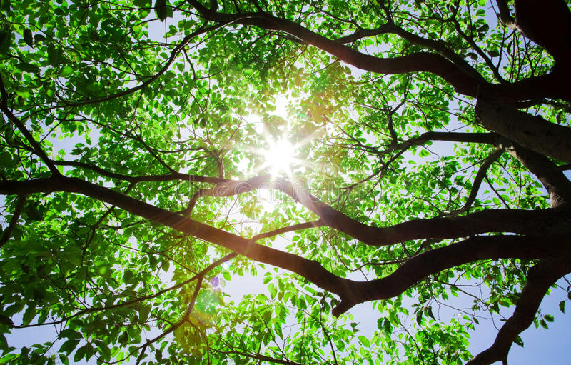 Download Sunlight Pass Through The Trees Stock Photo - Image: 13793220