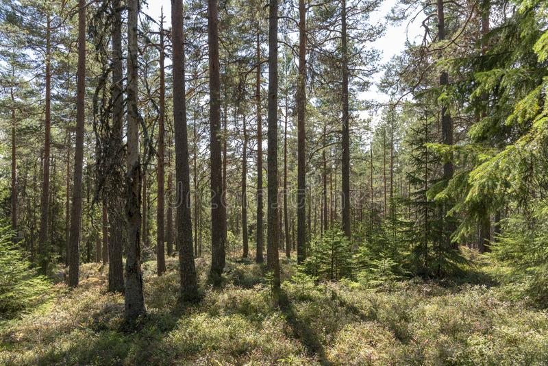 Sunlight in pine forest in Sweden. In summer royalty free stock photos