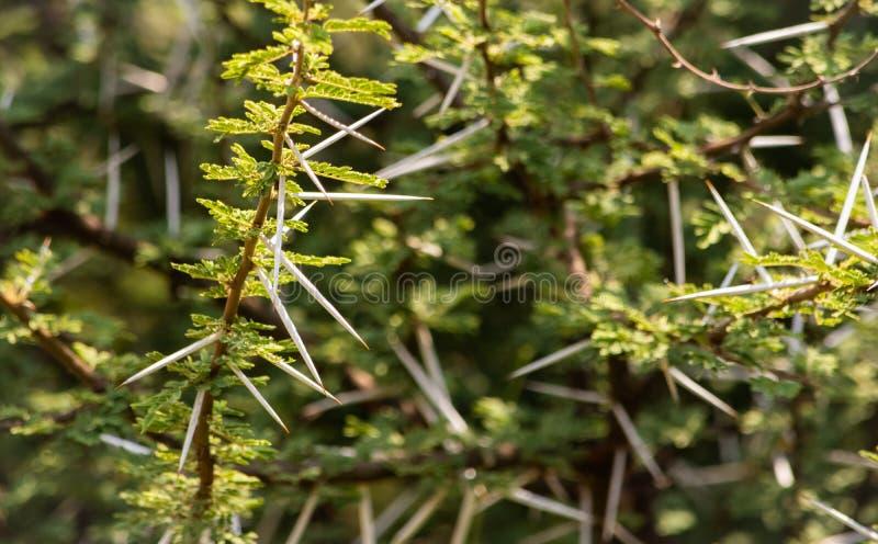 Thorny acacia branches royalty free stock photography