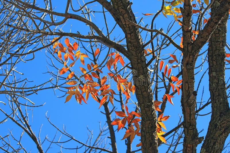 SUNLIGHT ON RUST COLOURED LEAVES ON A TREE IN AUTUMN. View of a tree with yellow and rust coloured leaves in Autumn with intense blue sky in the background stock photos