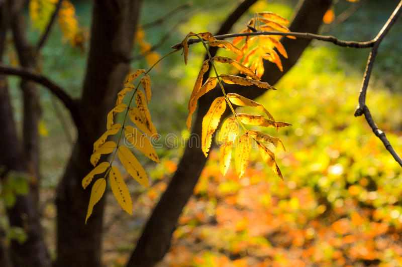 Sunlight shines through autumn leaves. Sunlight shines through autumn leaves of mountain ash. The landscape of the park on a sunny autumn day. Sun light plays stock photo