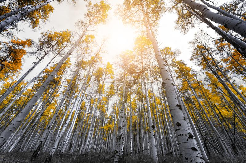 Sunlight shines through the canopy of golden yellow aspen tree l royalty free stock photo