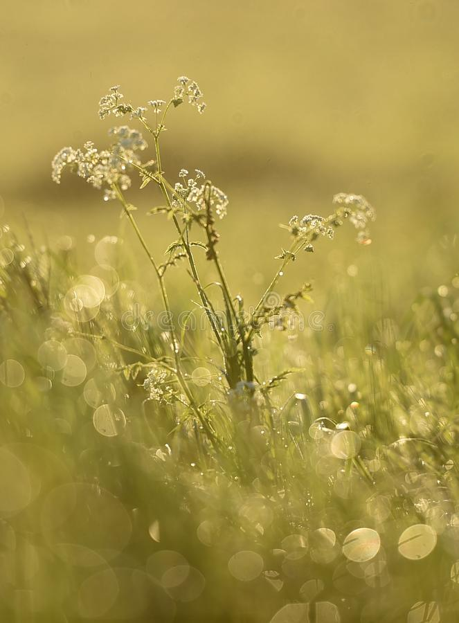Sunlight shines on Cow Parsley flowers stock photography