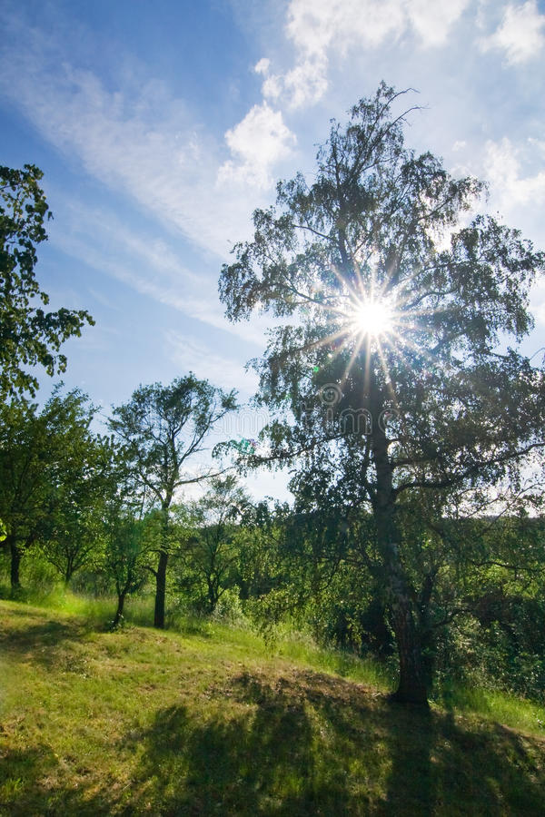 Download Sunlight Shining Through The Birch Stock Image - Image: 25185765