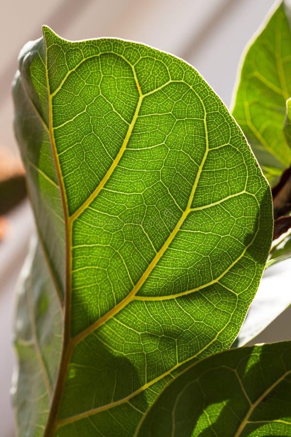 Veins on a fiddle-leaf fig leaf. royalty free stock images