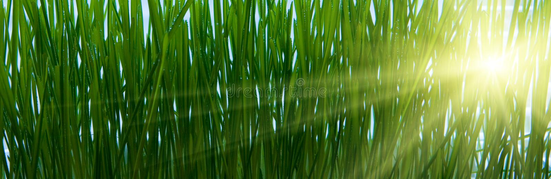 Sunlight shining through grass royalty free stock photos